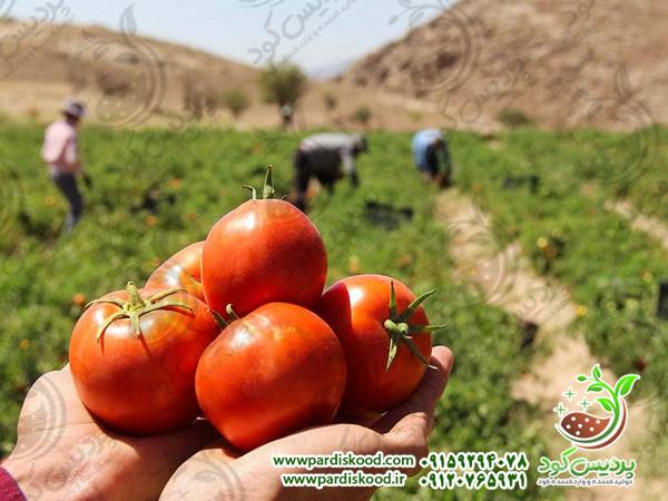 کود سولفات آمونیوم برای گوجه