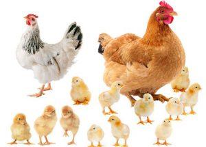 تولید پلت کود مرغی