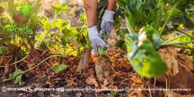 کود سولفات آمونیوم چغندر